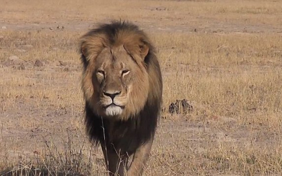 The Tragic Death of Cecil the Lion